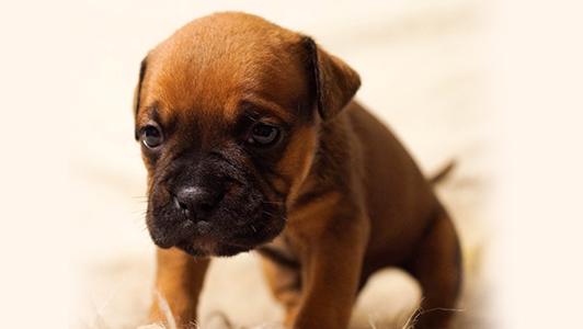 A cute brown puppy.