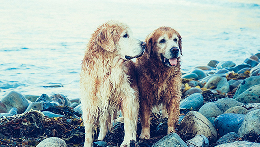 Two wet golden retievers standing next to each other.