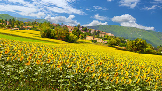 houses across field of sunflowers