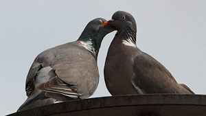 two pigeons close together