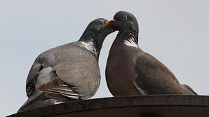 dois pombos juntos