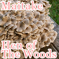 maitake : hen of the woods