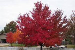Red maple tree in backyard
