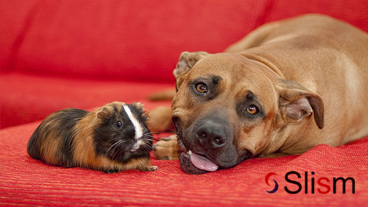 guinea pig and a dog together