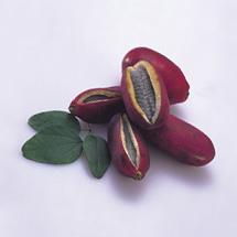 Chocolate-Vine Akebia quinata