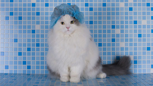 white cat in blue shower cap